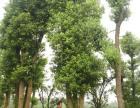 湖南多杆香樟 丛生香樟树价格 益阳市绿鑫园林有限公司