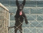 德国牧羊犬小狗图片视频 纯种3个月德国牧羊犬多少钱