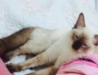 五个多月小猫找新家