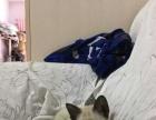 纯种自养小暹罗猫