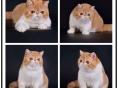 中山正规猫舍 专业繁殖英短 美短 加菲 布偶 蓝猫 金吉拉等