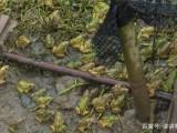 遵义养殖青蛙肉惠丰青蛙养殖嘉合10号水产养殖