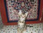 孟加拉豹猫毕竟咱家的猫吃的都是好东西。出售