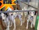 CKU认证繁殖基地直销纯种健康斑点大麦町犬质保三年