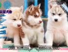 家養純種哈士奇幼犬出售 可送貨可上門,贈送狗用品