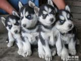 买纯种三把火蓝眼睛哈士奇幼犬 免费送货上门挑选