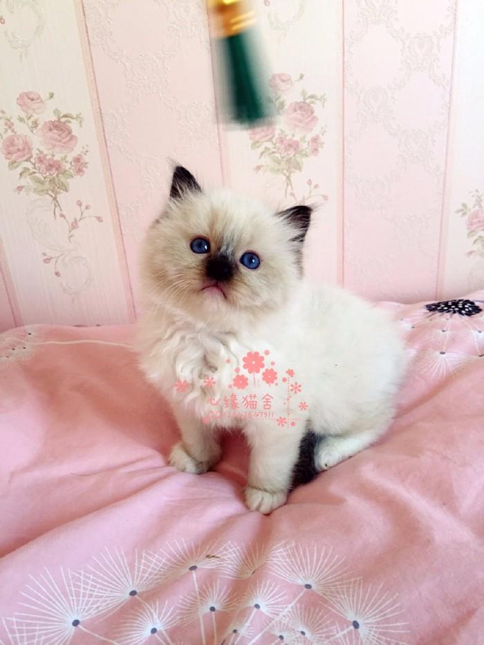 无锡哪里有卖布偶猫的较便宜多少钱一只