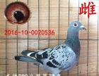 出售信鸽,成绩鸽,公棚鸽,赛鸽