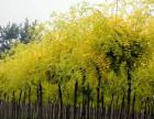 唐山专业国槐绿化树苗,腾森公司减少污染