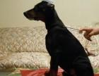 家养繁殖 健康纯种 杜宾幼犬 上门挑选可支持发货