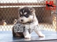 广州皇氏宠物基地直销 哈士奇 萨摩耶 阿拉斯加 金毛犬