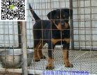 济南哪里有卖罗威纳犬 济南罗威纳犬多少钱 济南罗威纳犬图片