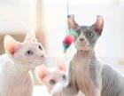 CFA品质纯种斯芬克斯蓝白加拿大无毛猫宠物猫咪活体