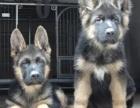 出售精品德国牧羊犬幼犬 多只视频挑选 纯种健康