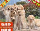 出售金毛幼犬純種健康保障疫苗驅蟲做齊簽協議