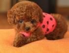 抵挡不了的诱惑 精品泰迪贵宾犬多色可选包健康