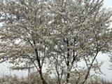 银杏园林绿化苗木销售