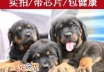 广州哪里买罗威纳犬靠谱 买罗威那首选正规狗场 健康质保