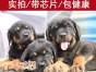 东莞哪家犬舍买狗有保障 首选宠之恋犬舍 罗威纳幼犬健康出售