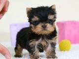 專業繁殖 約克夏幼犬 可來基地挑選 簽協議保健