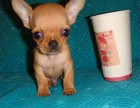 四川成都吉娃娃犬纯种吉娃娃幼犬出售活体茶杯犬家养小型犬宠物狗