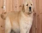 家有纯种大头金毛幼犬转让、公母都有,超可爱的,包健康