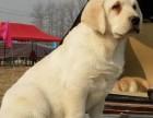 三亚哪里有拉布拉多犬出售 纯种的拉布拉多犬多少钱