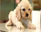 正规犬舍,英系可卡犬,美系可卡犬,签协议,保健康