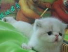 扬州市区猫舍出售蓝猫加菲英短美短名猫配种