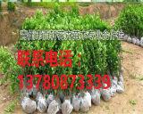 山东青州市冬青小苗大量供应,青州百轩花卉苗木