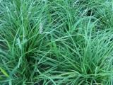 北京丹麦草基地出售丹麦草,负责种植,送货上门价格低