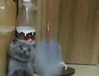 出售家养英短猫咪