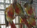 长期出售各种小太阳鹦鹉