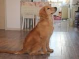 重庆纯种茶杯泰迪犬 卖泰迪犬的犬舍基地