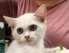 银渐层猫咪银点妹妹3个月大