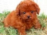 福州哪有泰迪犬卖 福州泰迪犬价格 福州泰迪犬多少钱