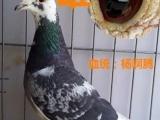 出售赛鸽,信鸽成绩赛鸽种鸽,公棚赛鸽