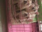 广州哪里可以买到纯种法斗,大型专业犬舍出售纯种法国斗牛犬