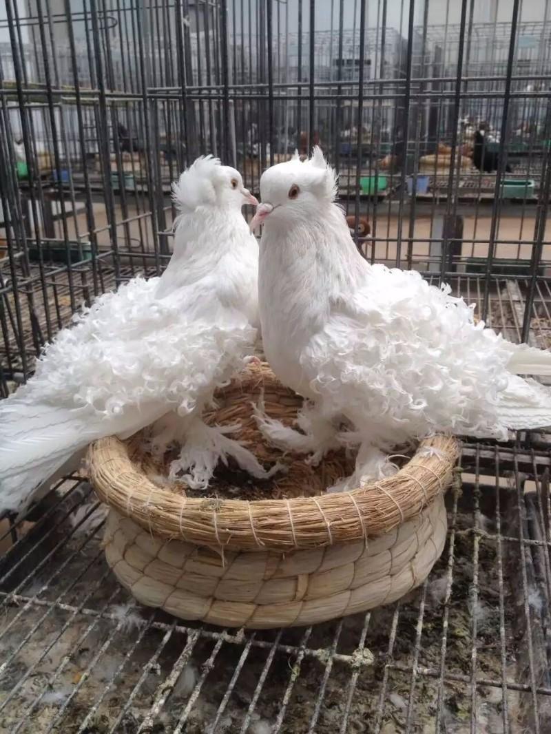 观赏鸽大全观赏鸽出售