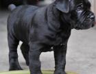 cku注册五星级犬舍 双血统卡斯罗可上门挑选