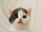 CFA英短蓝白猫咪出售