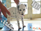 双血统有芯片的斑点狗多少钱 好不好养