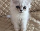 猫屋繁育各种精品可爱猫咪