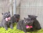 西安蓝猫照片 西安哪里有健康的蓝猫出售 西安哪里有猫舍卖猫咪