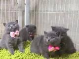 兰州哪里卖蓝猫 兰州哪里的蓝猫便宜 兰州纯种蓝猫价格