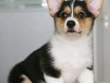 短腿黄白花大屁股威尔士柯基犬幼犬杜宾犬活体宠物狗狗