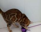 孟家拉豹猫幼崽常年出售