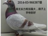 常年出售网鸽