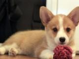 佛山养狗场直销多种狗狗 国庆有优惠 纯种柯基犬 品质保障