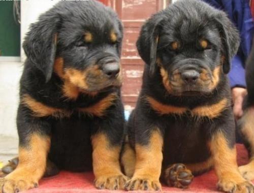 本场出售纯种罗威纳犬 罗威纳幼犬 品质好 血统保证